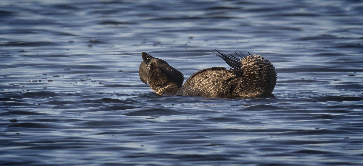 Musk Duck (Image ID 36654)