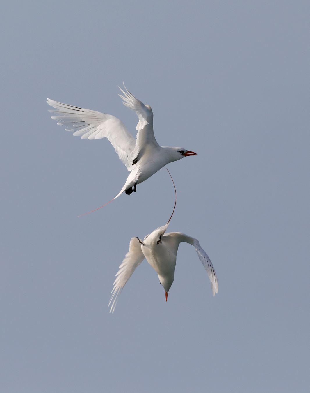 Red-tailed Tropicbird (Image ID 36624)