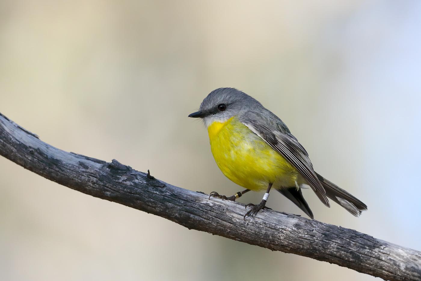Eastern Yellow Robin (Image ID 36682)