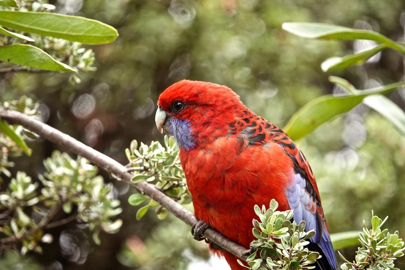 Crimson Rosella (Image ID 37020)