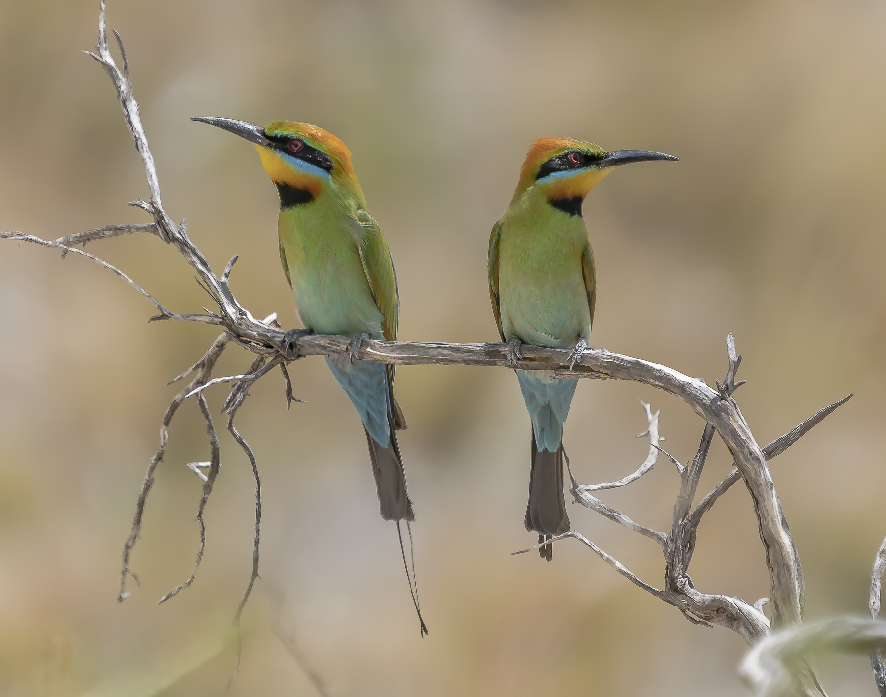 Rainbow Bee-eater (Image ID 37001)