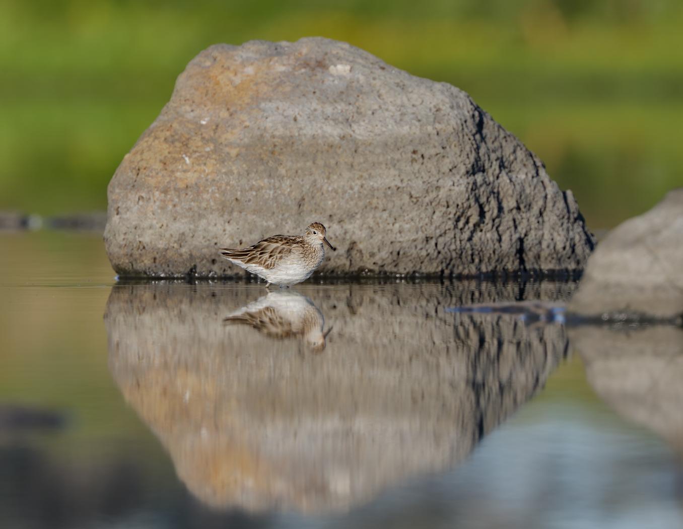 Sharp-tailed Sandpiper (Image ID 37008)