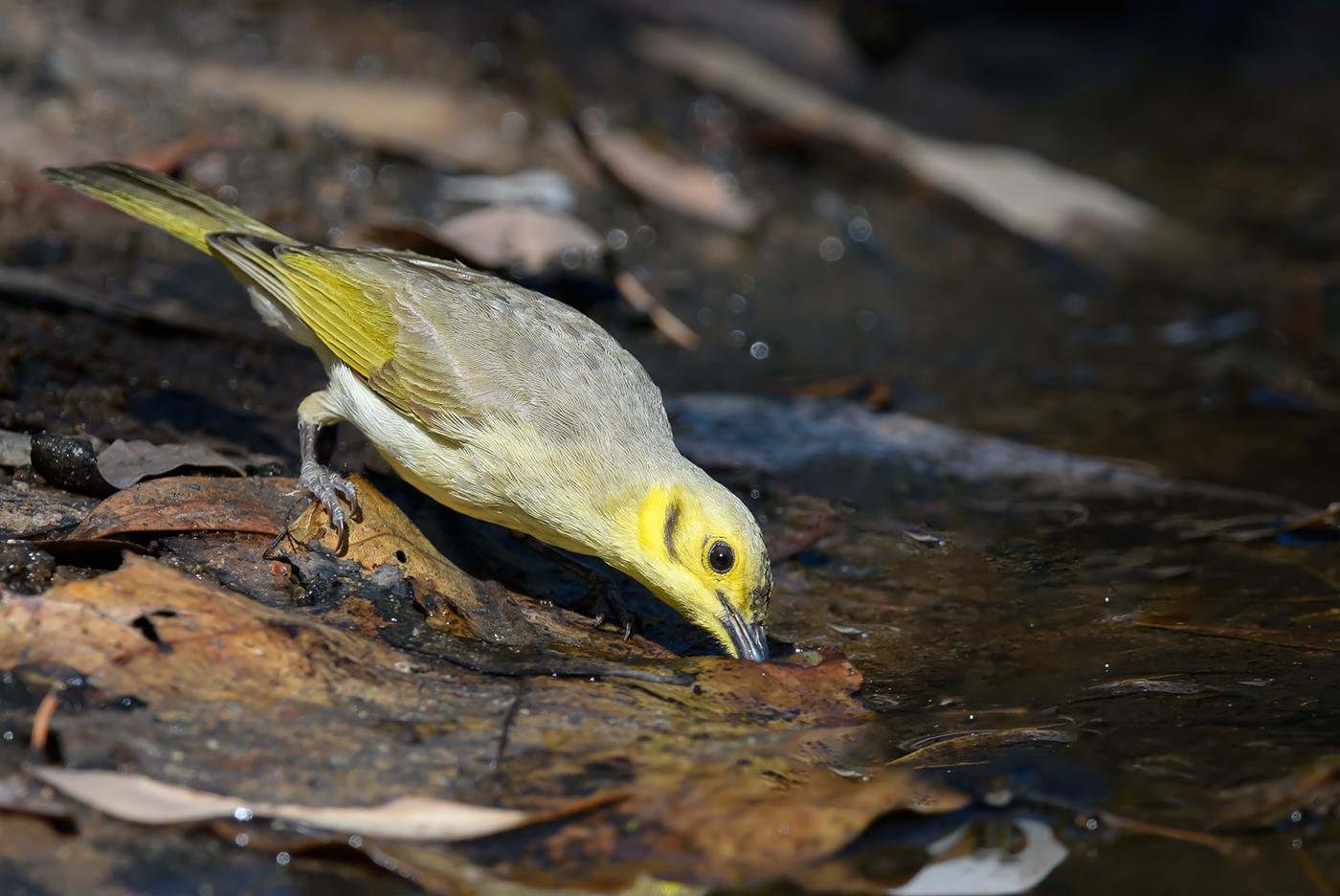 Yellow-tinted Honeyeater (Image ID 36815)