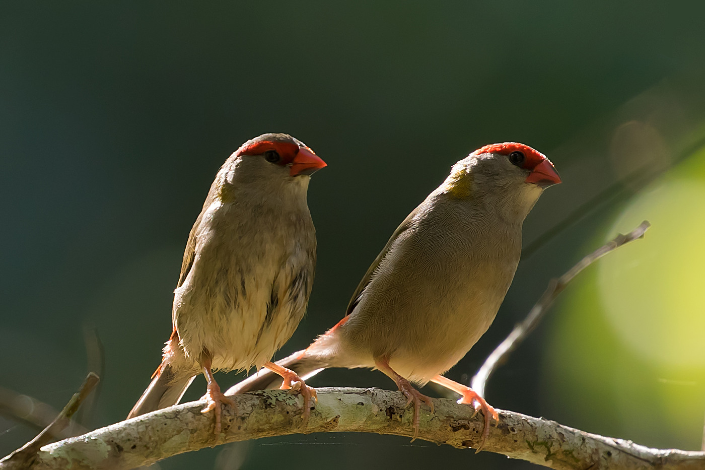 Red-browed Finch (Image ID 36829)