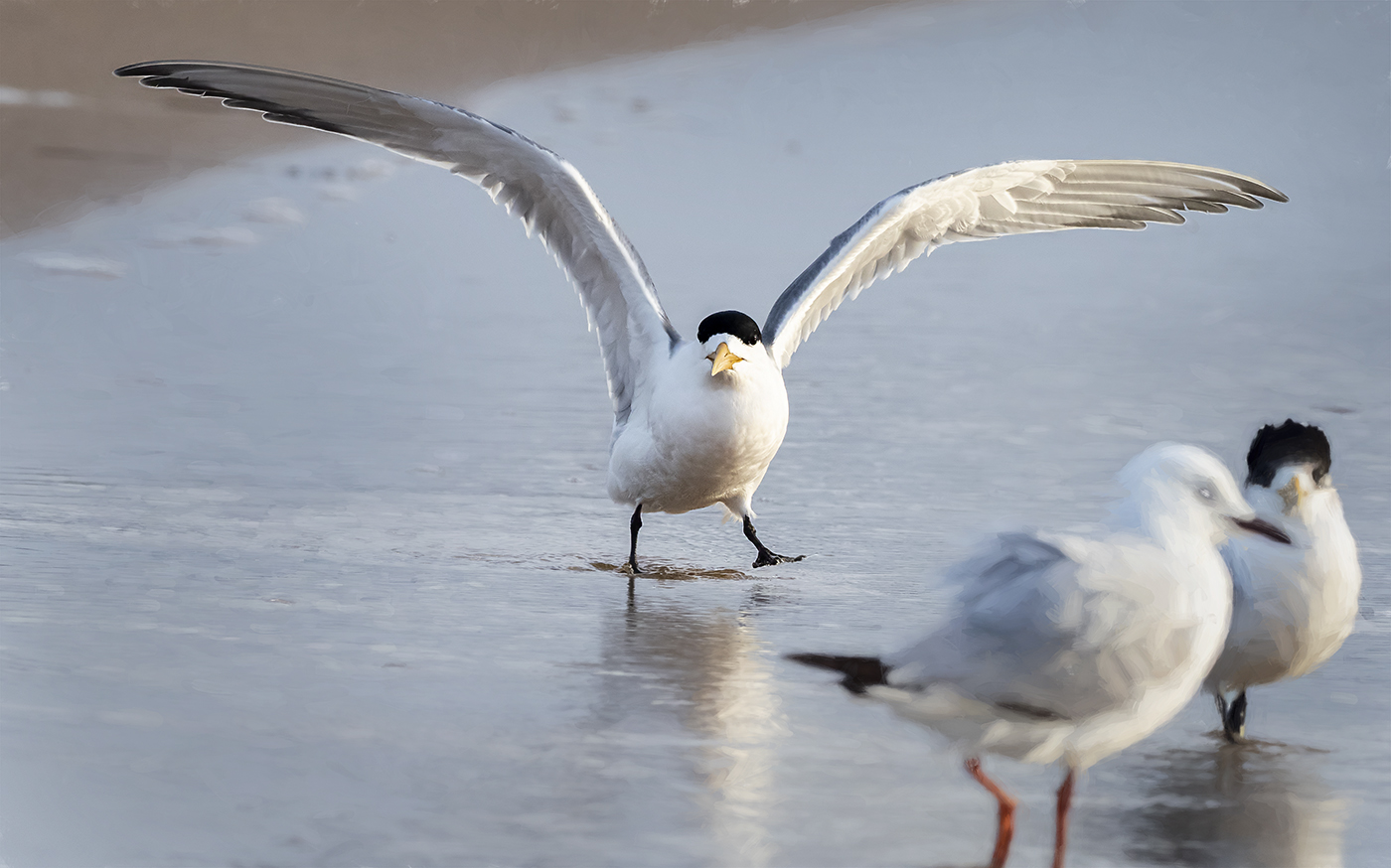Crested Tern (Image ID 36890)
