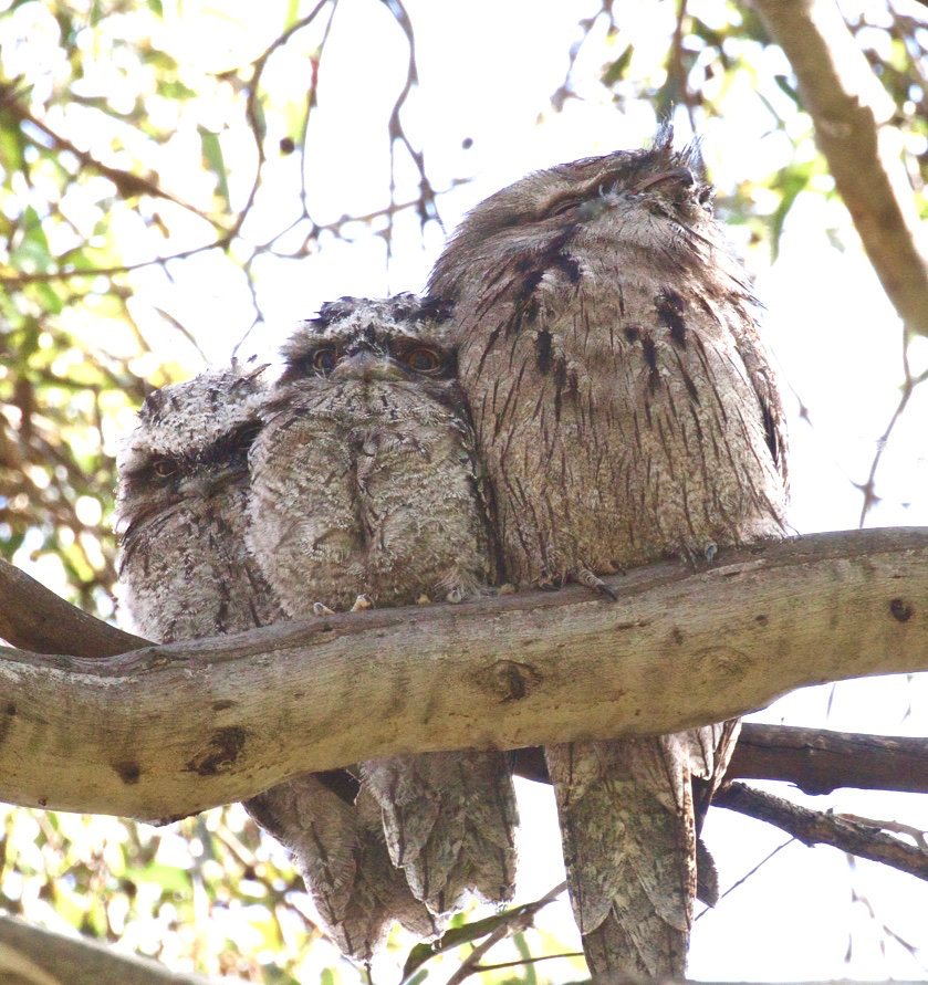 Tawny Frogmouth (Image ID 36993)