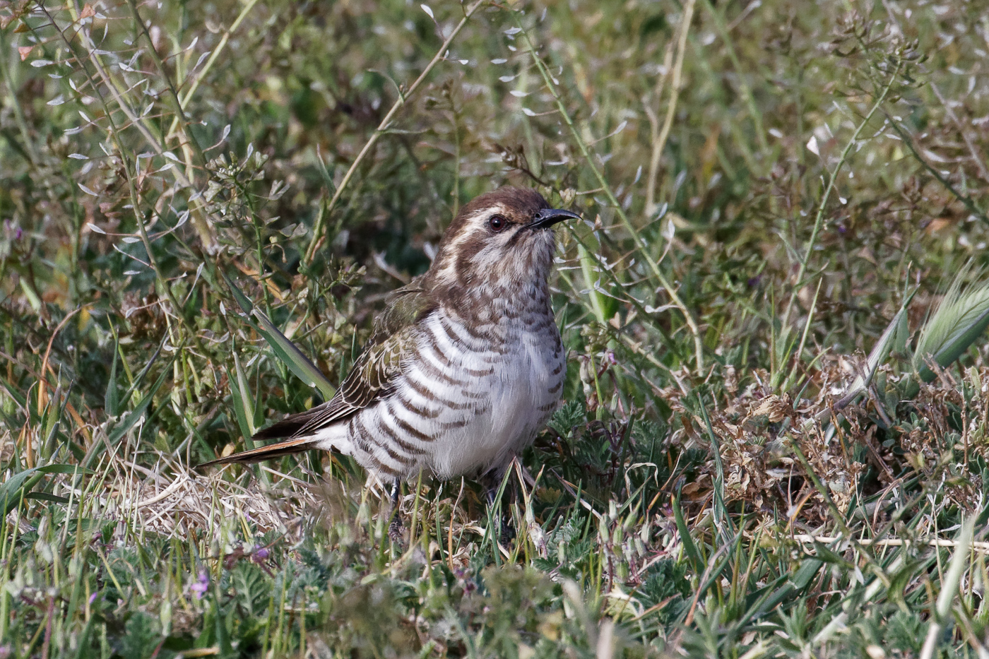 Horsfield's Bronze-Cuckoo (Image ID 36760)
