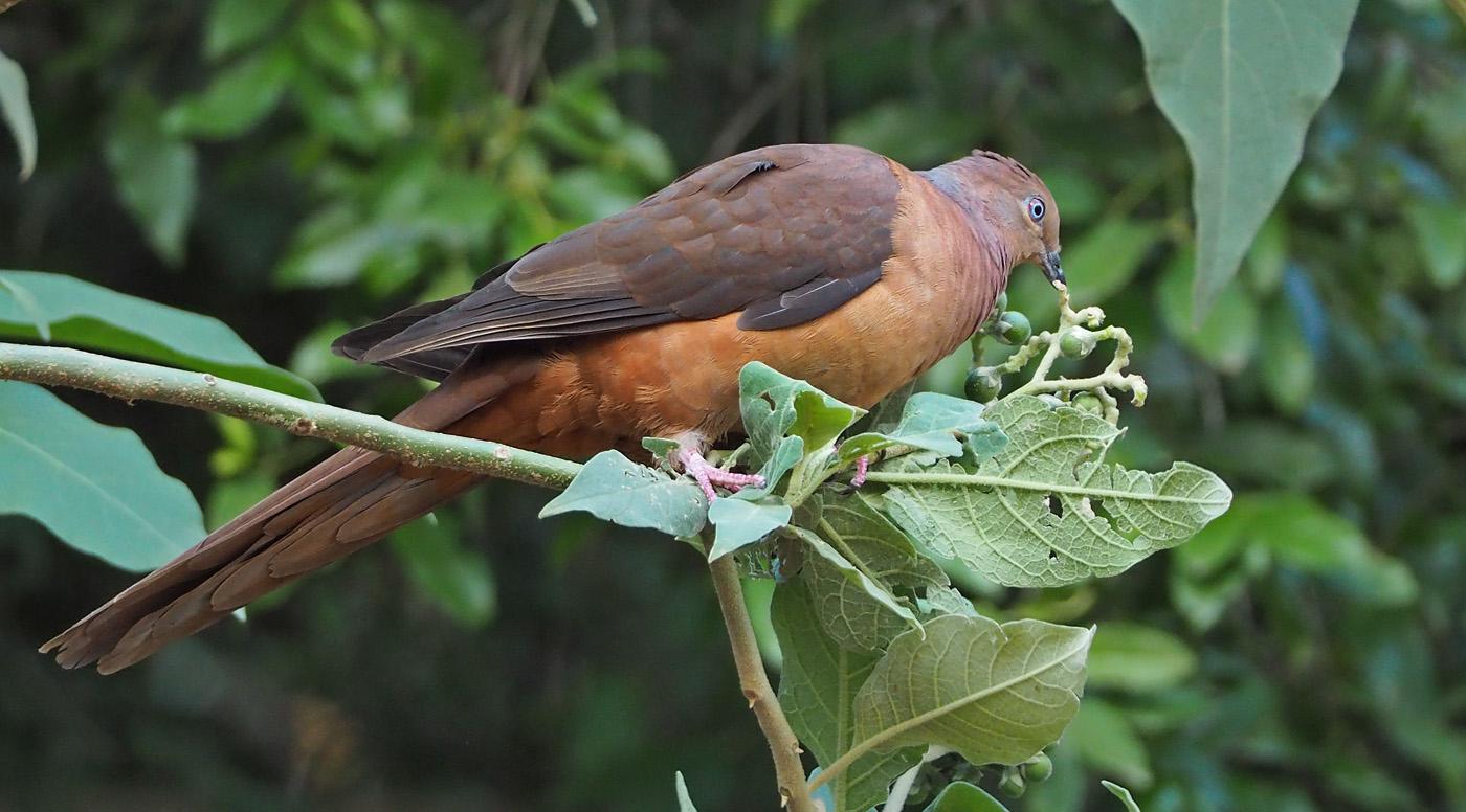 Brown Cuckoo-Dove (Image ID 36780)