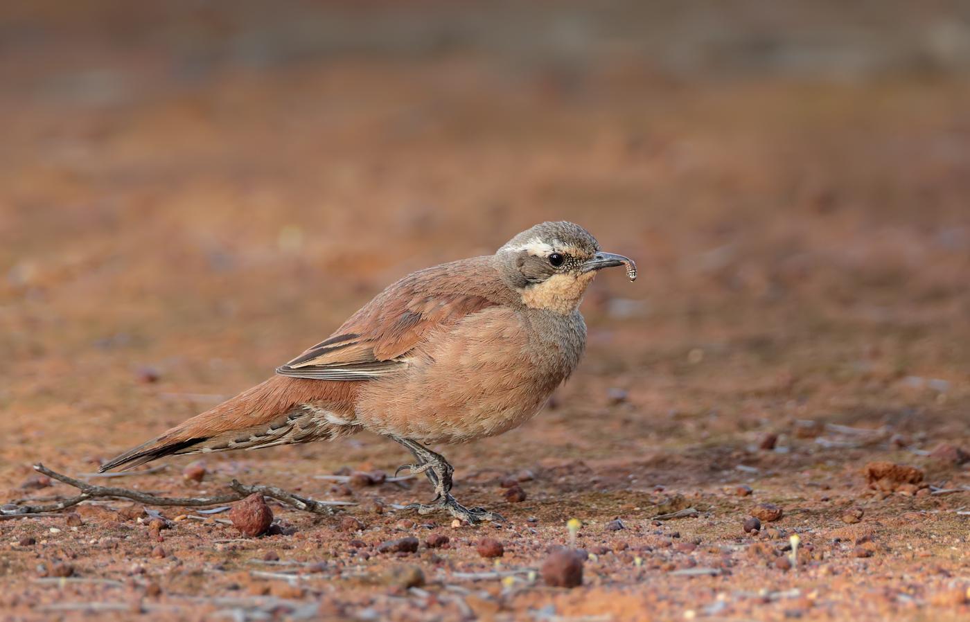 Chestnut-breasted Quail-thrush (Image ID 36833)