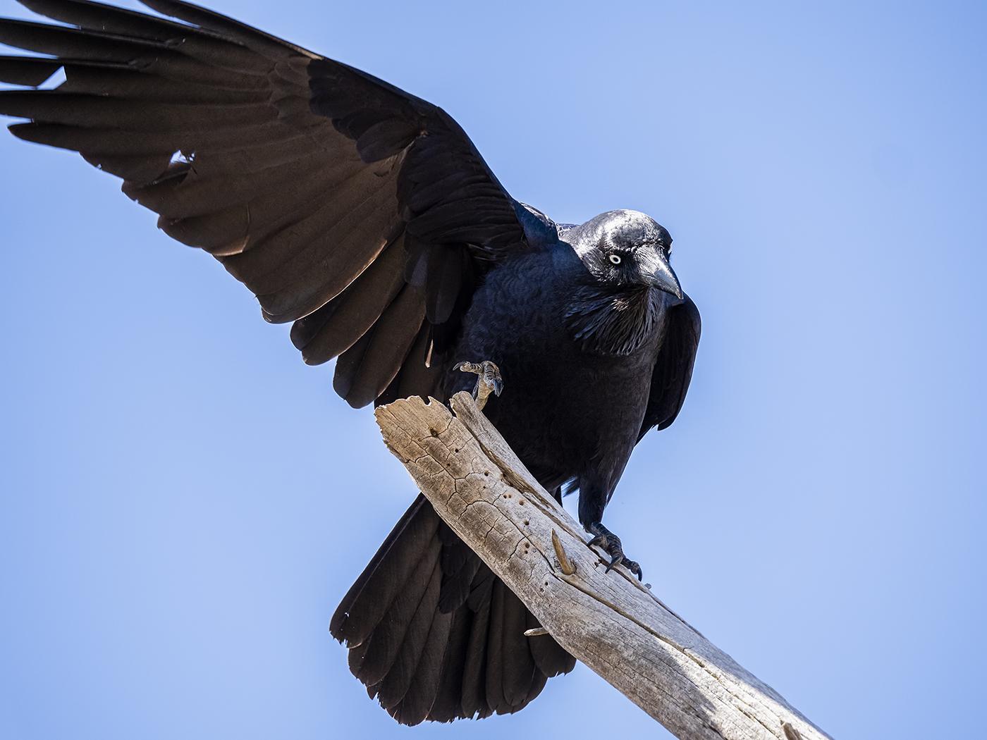 Australian Raven (Image ID 36796)