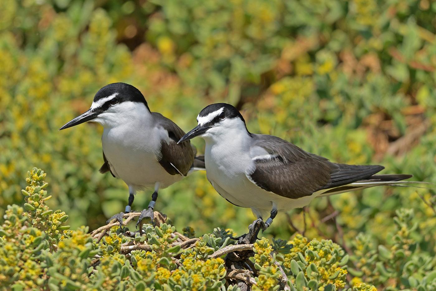Bridled Tern (Image ID 36939)