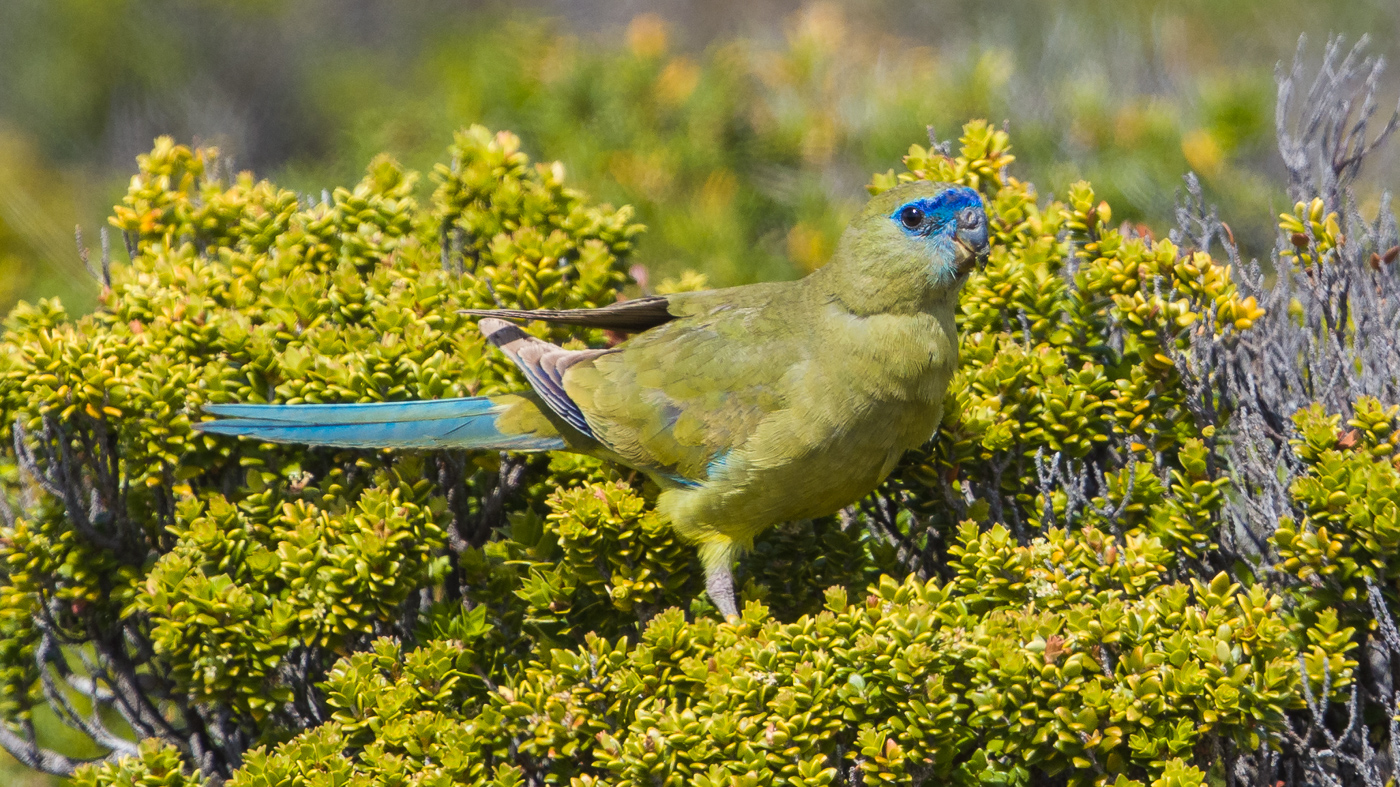 Rock Parrot (Image ID 36764)