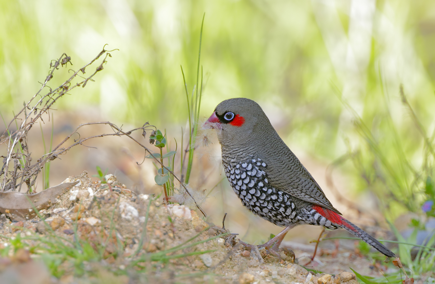 Red-eared Firetail (Image ID 36690)