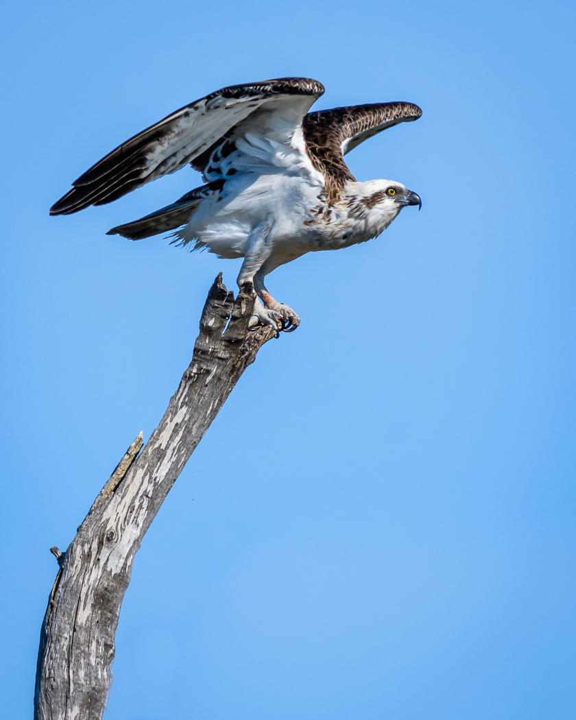 Osprey (Image ID 36683)