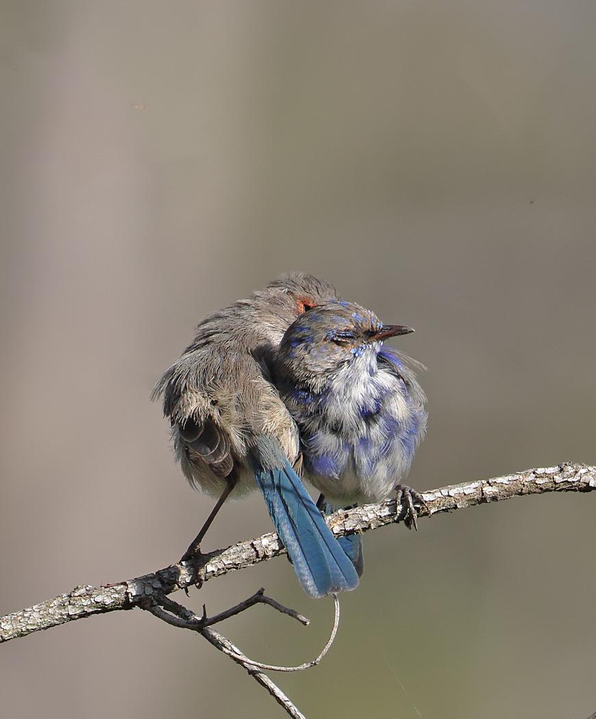 Splendid Fairy-wren (Image ID 36795)