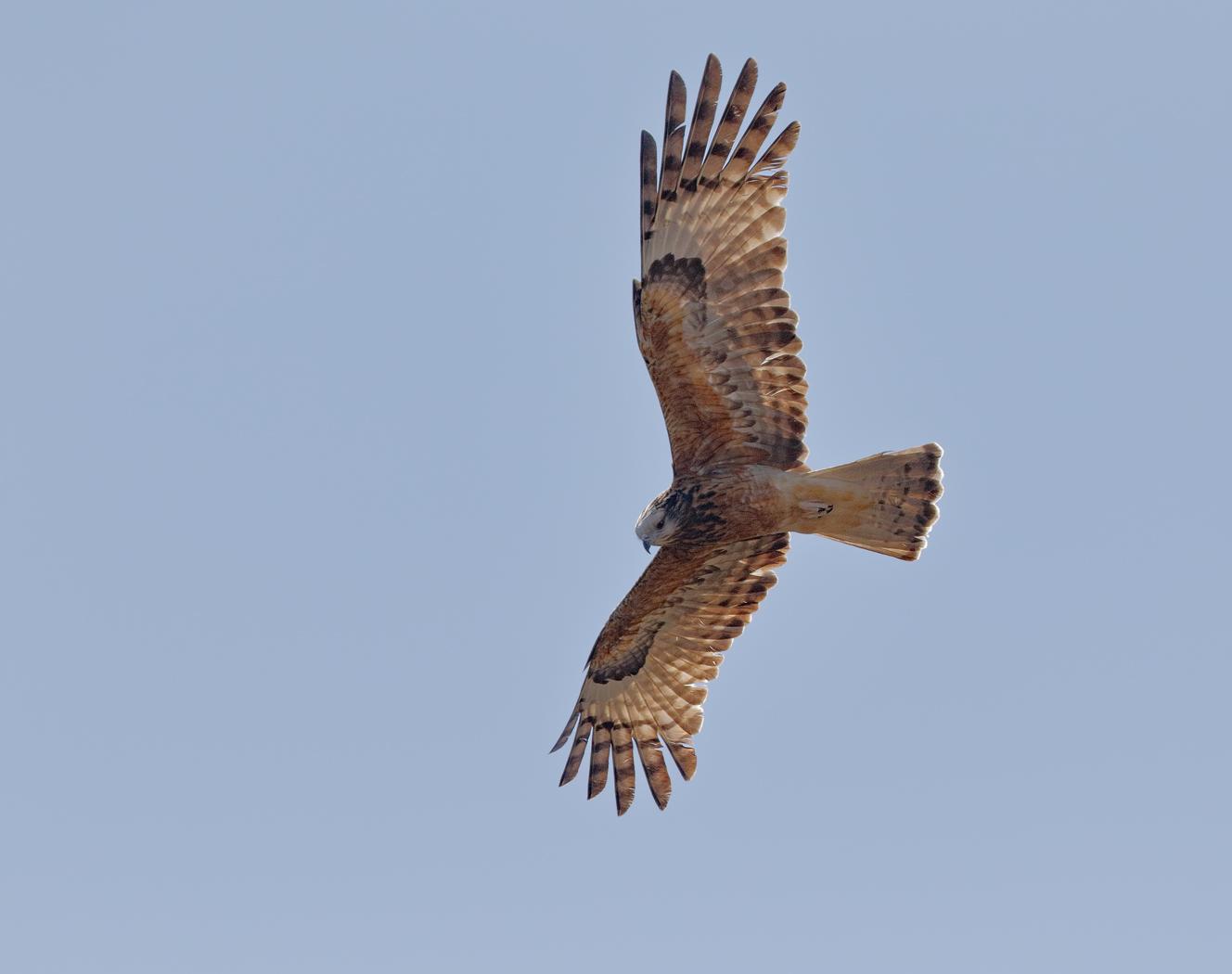 Square-tailed Kite (Image ID 36738)