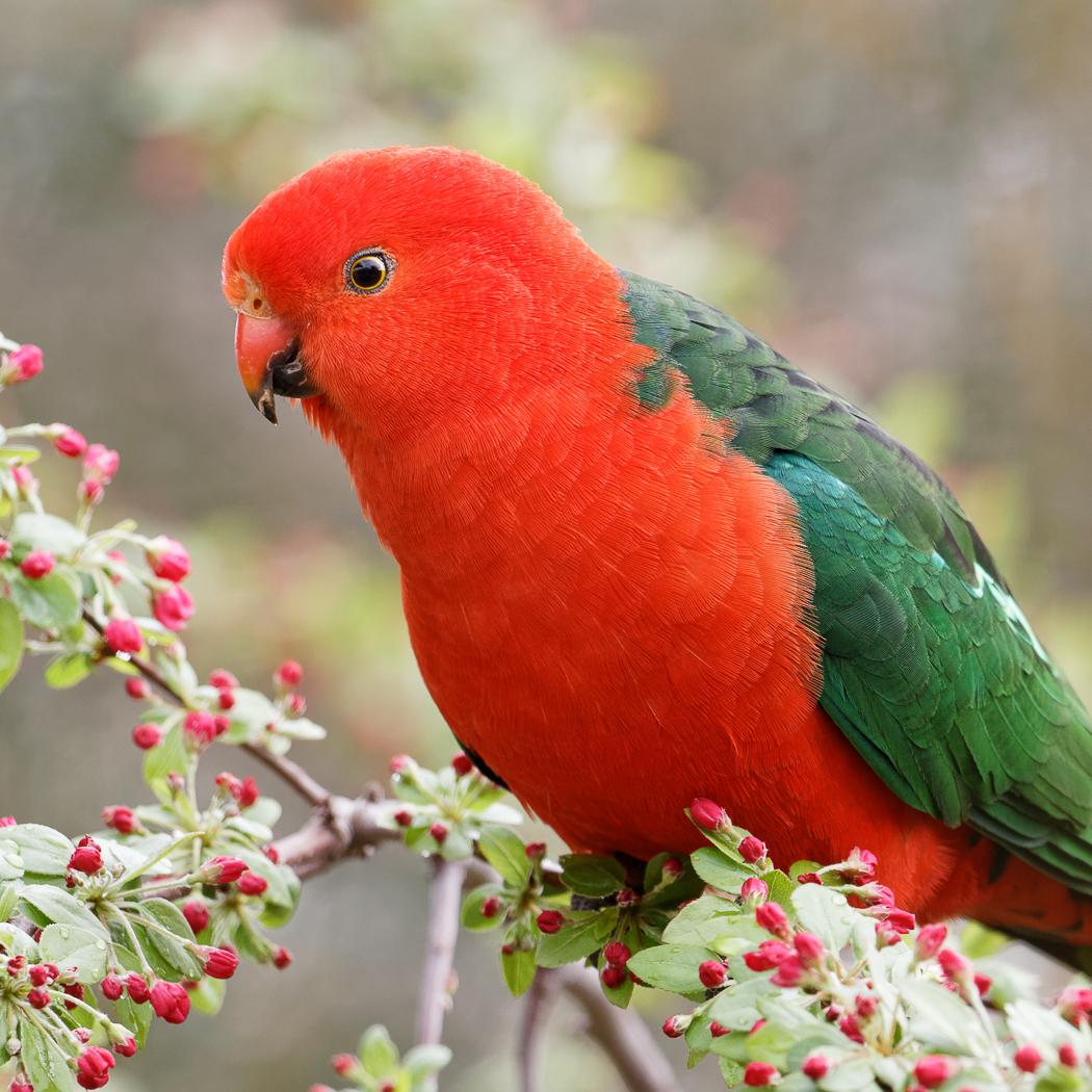Australian King-Parrot (Image ID 36793)