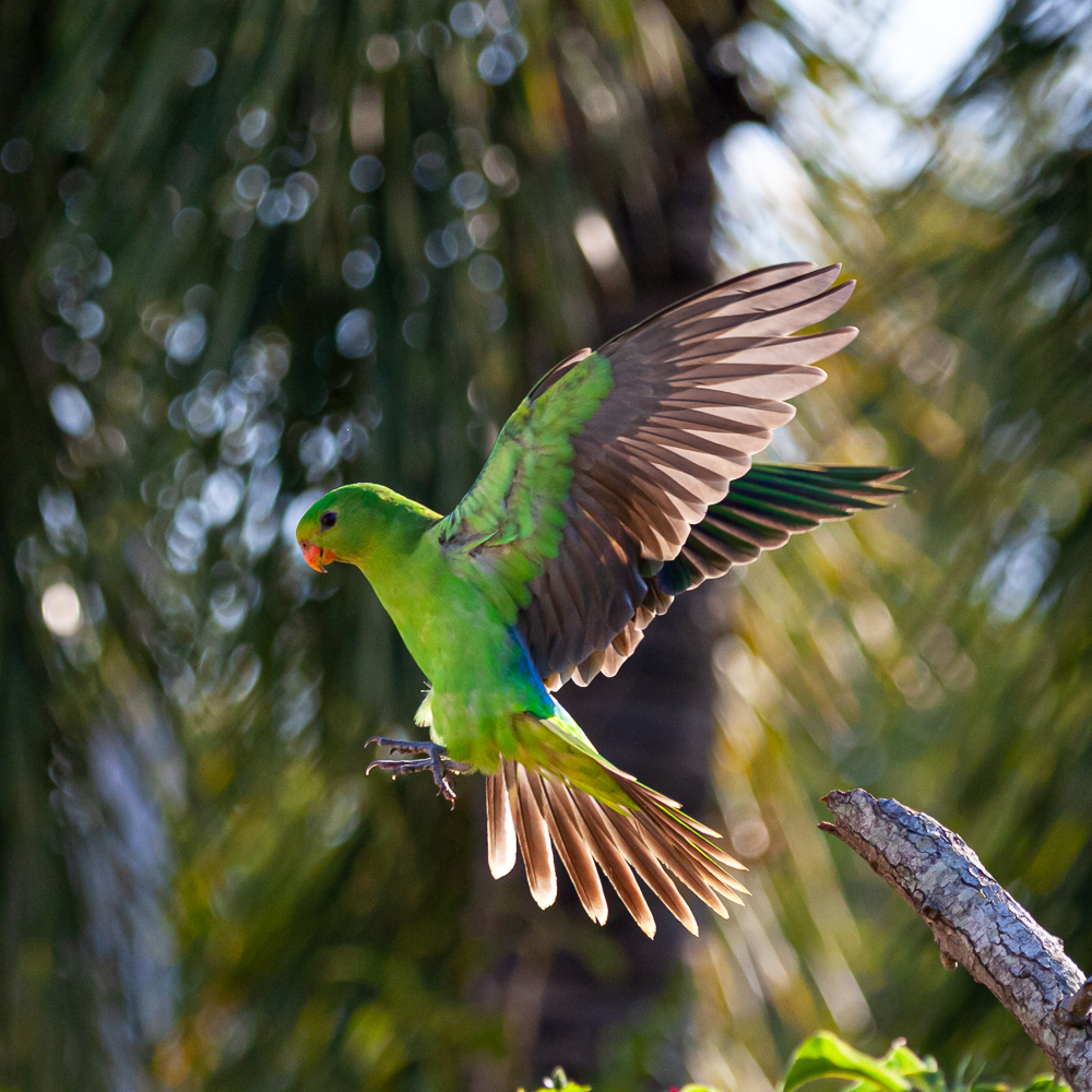 Red-winged Parrot (Image ID 36876)