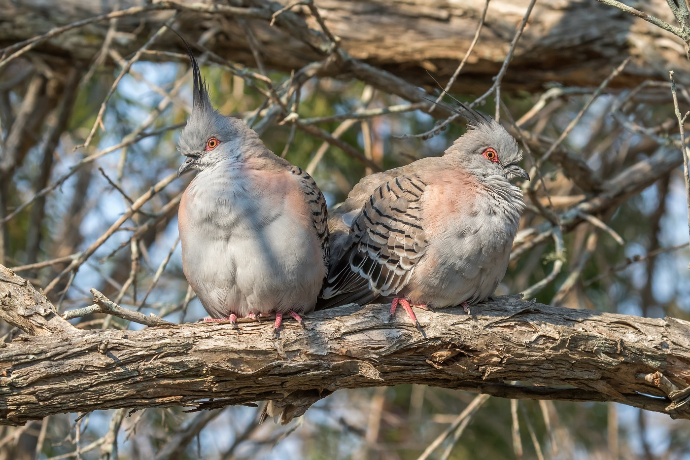 Crested Pigeon (Image ID 36734)