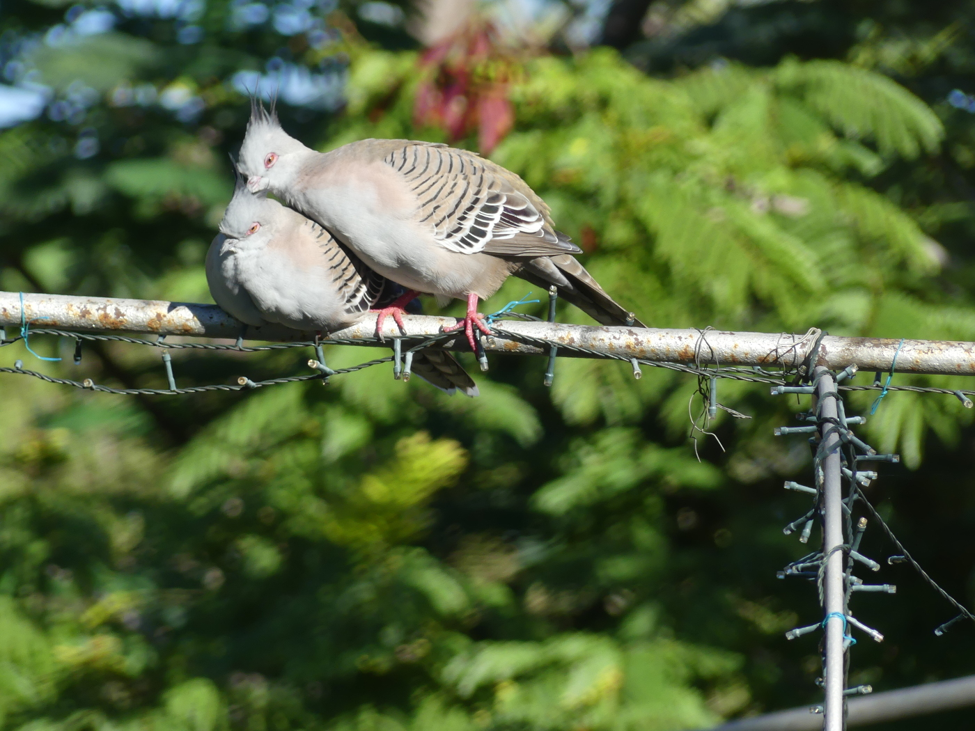 Crested Pigeon (Image ID 36807)