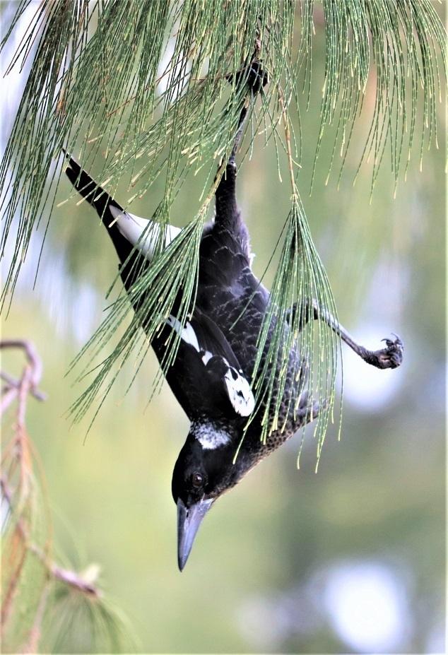 Australian Magpie (Image ID 36777)