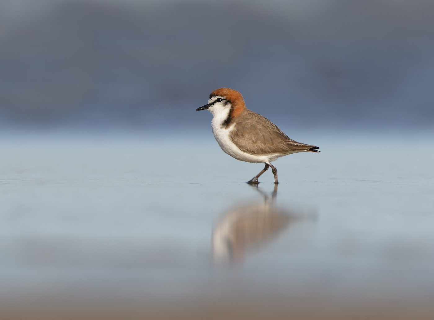 Red-capped Plover (Image ID 36691)