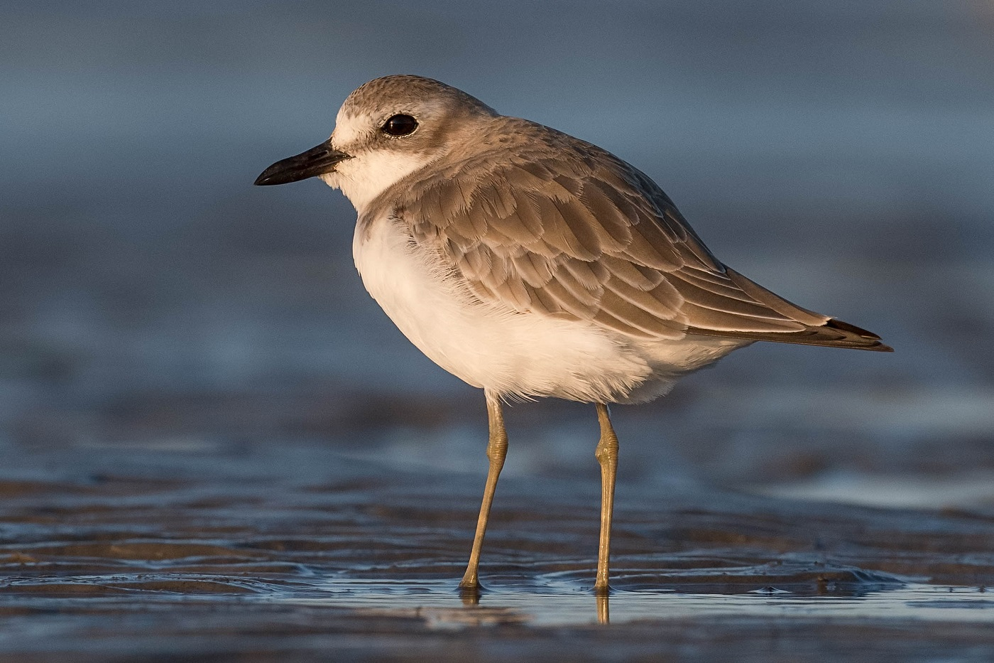 Greater Sand Plover (Image ID 36962)