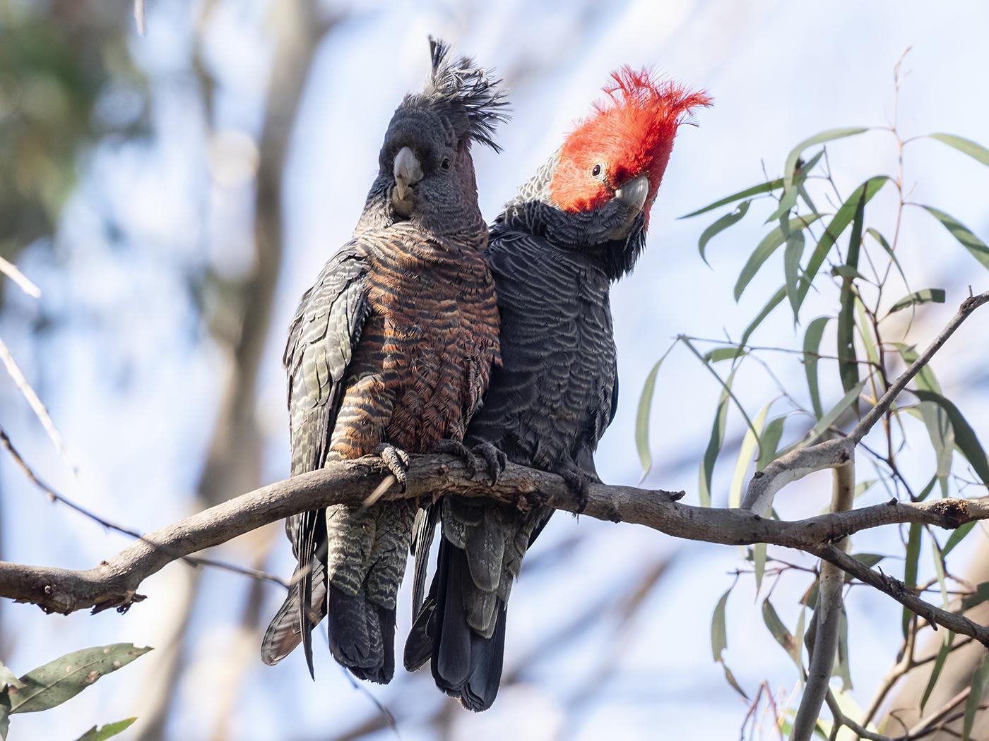 Gang-gang Cockatoo (Image ID 36771)