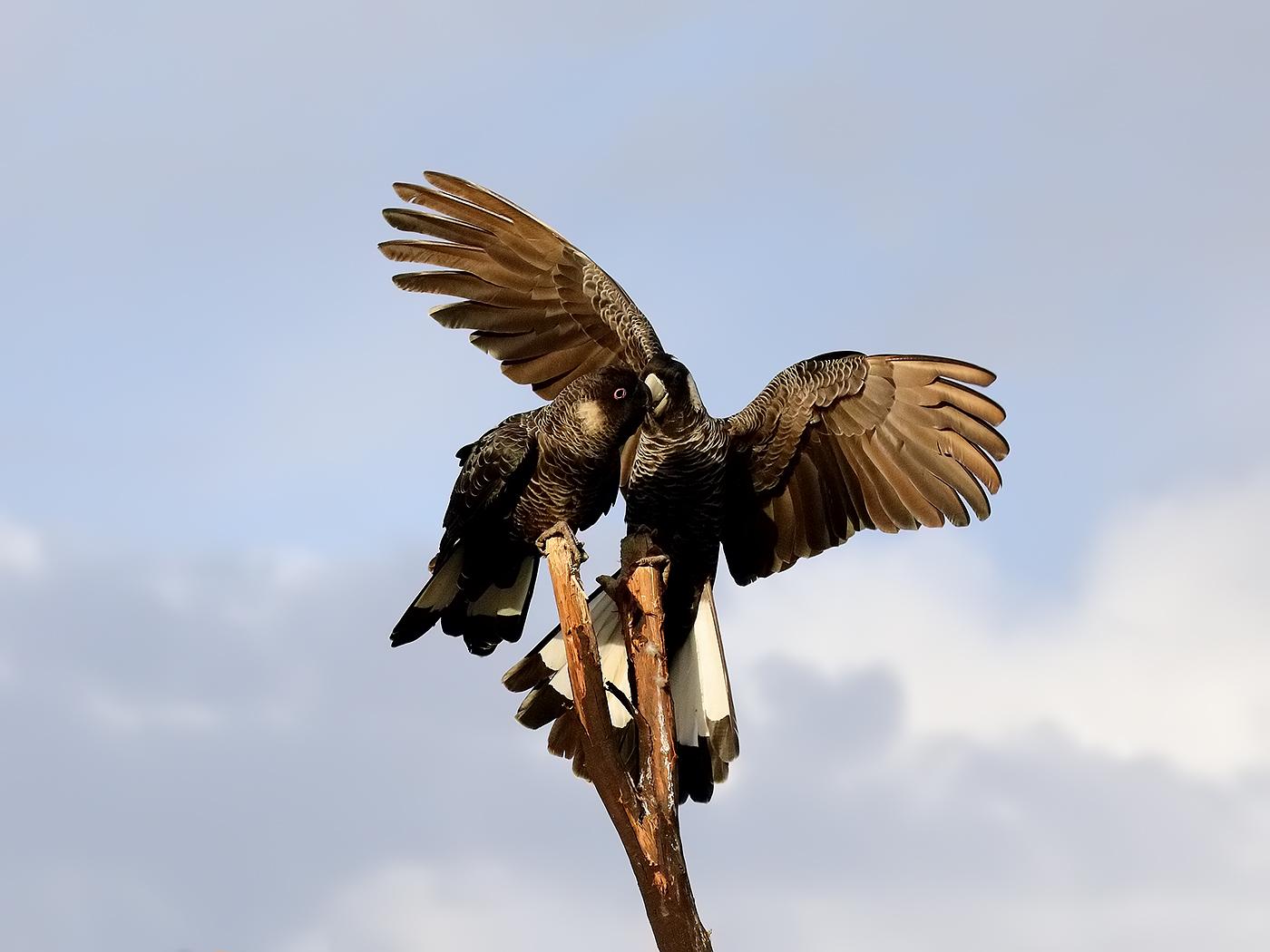 Carnaby's Black-Cockatoo (Image ID 36906)