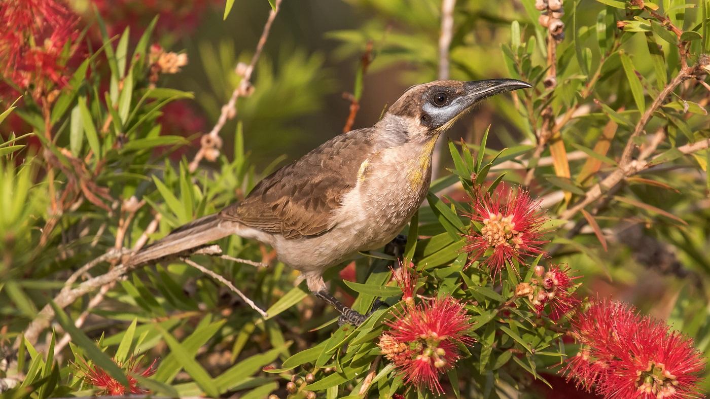 Little Friarbird (Image ID 36773)