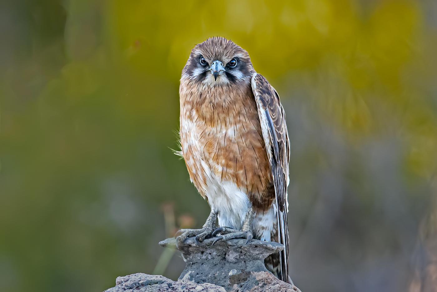 Brown Falcon (Image ID 36892)