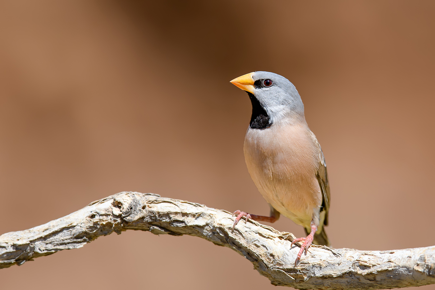 Long-tailed Finch (Image ID 36798)