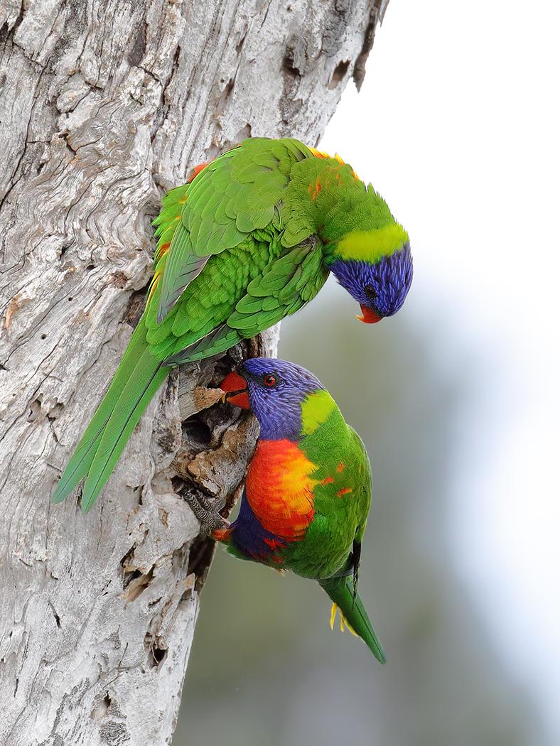 Rainbow Lorikeet (Image ID 36905)