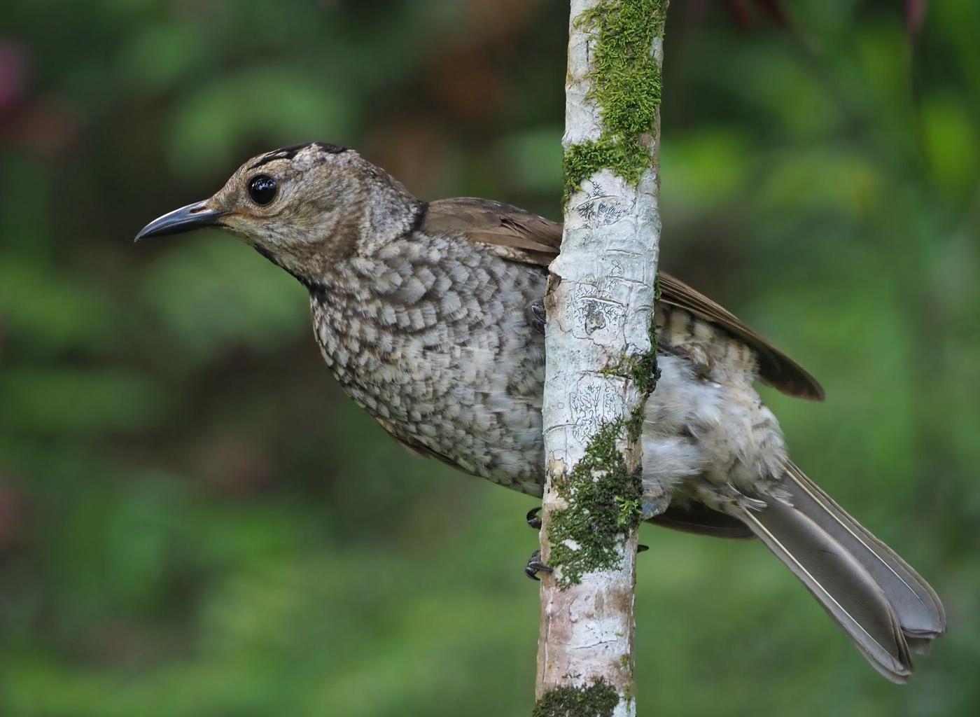 Regent Bowerbird (Image ID 36861)