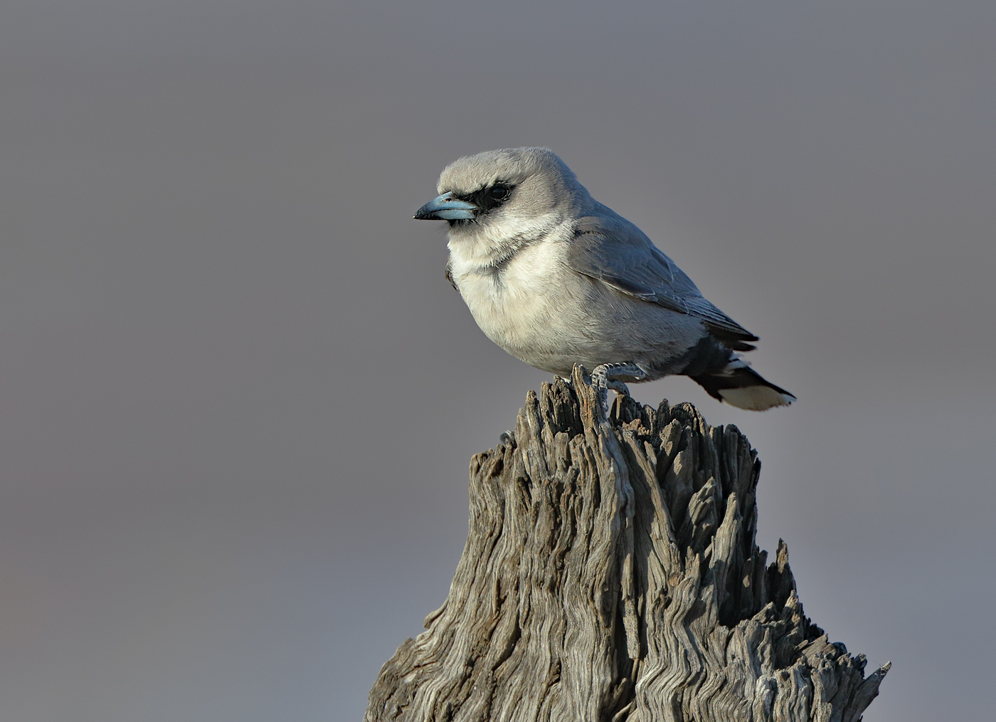 Black-faced Woodswallow (Image ID 36938)