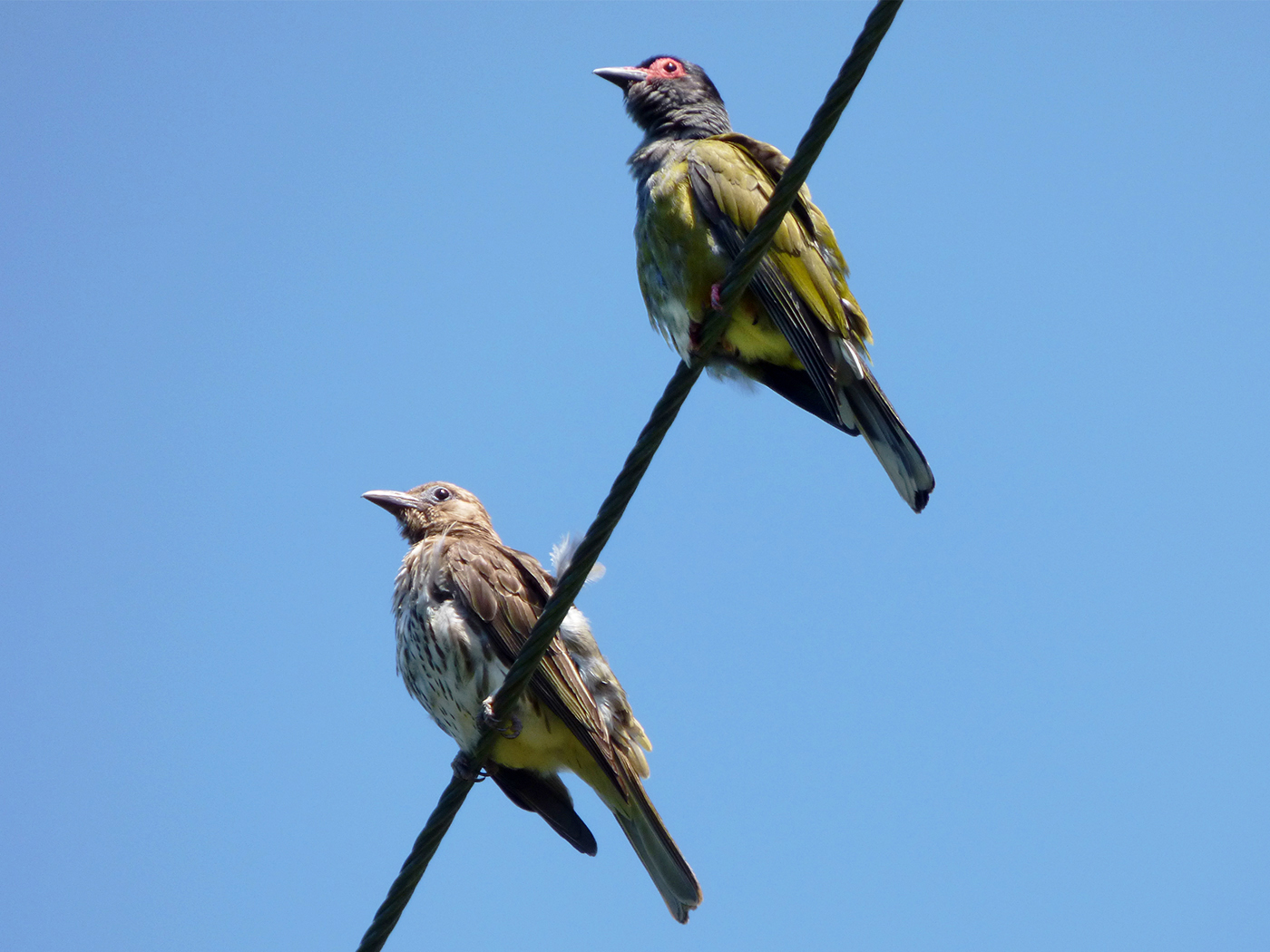 Australasian Figbird (Image ID 36944)