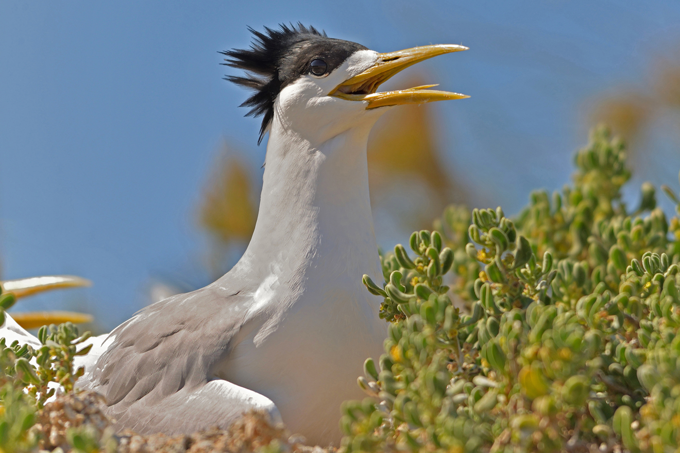 Crested Tern (Image ID 36940)