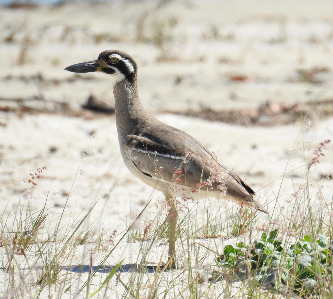Beach Stone-curlew (Image ID 36810)