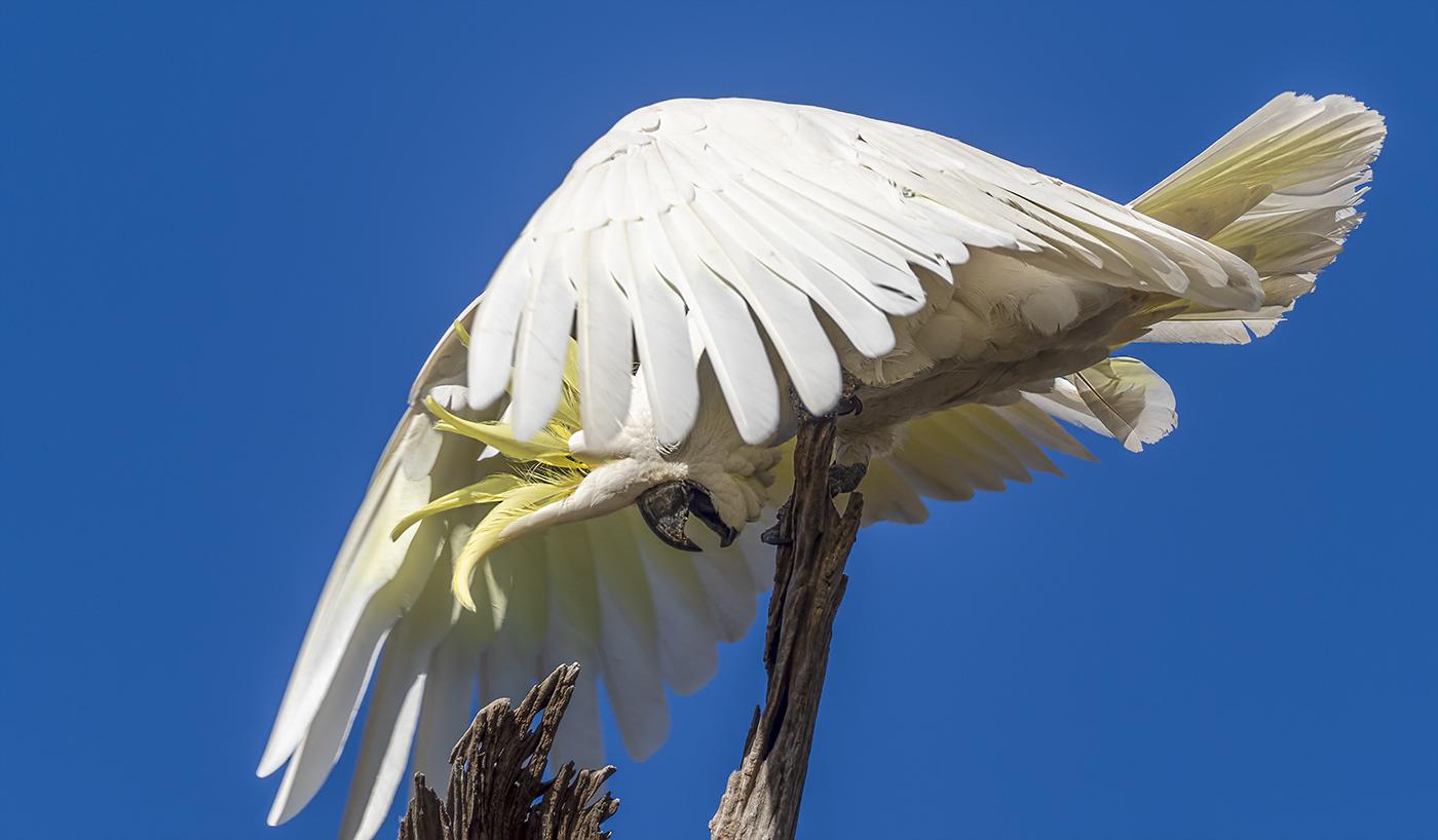 Sulphur-crested Cockatoo (Image ID 36878)