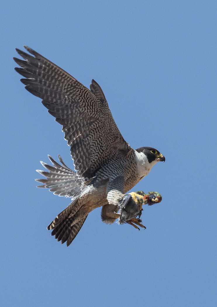 Peregrine Falcon (Image ID 37014)