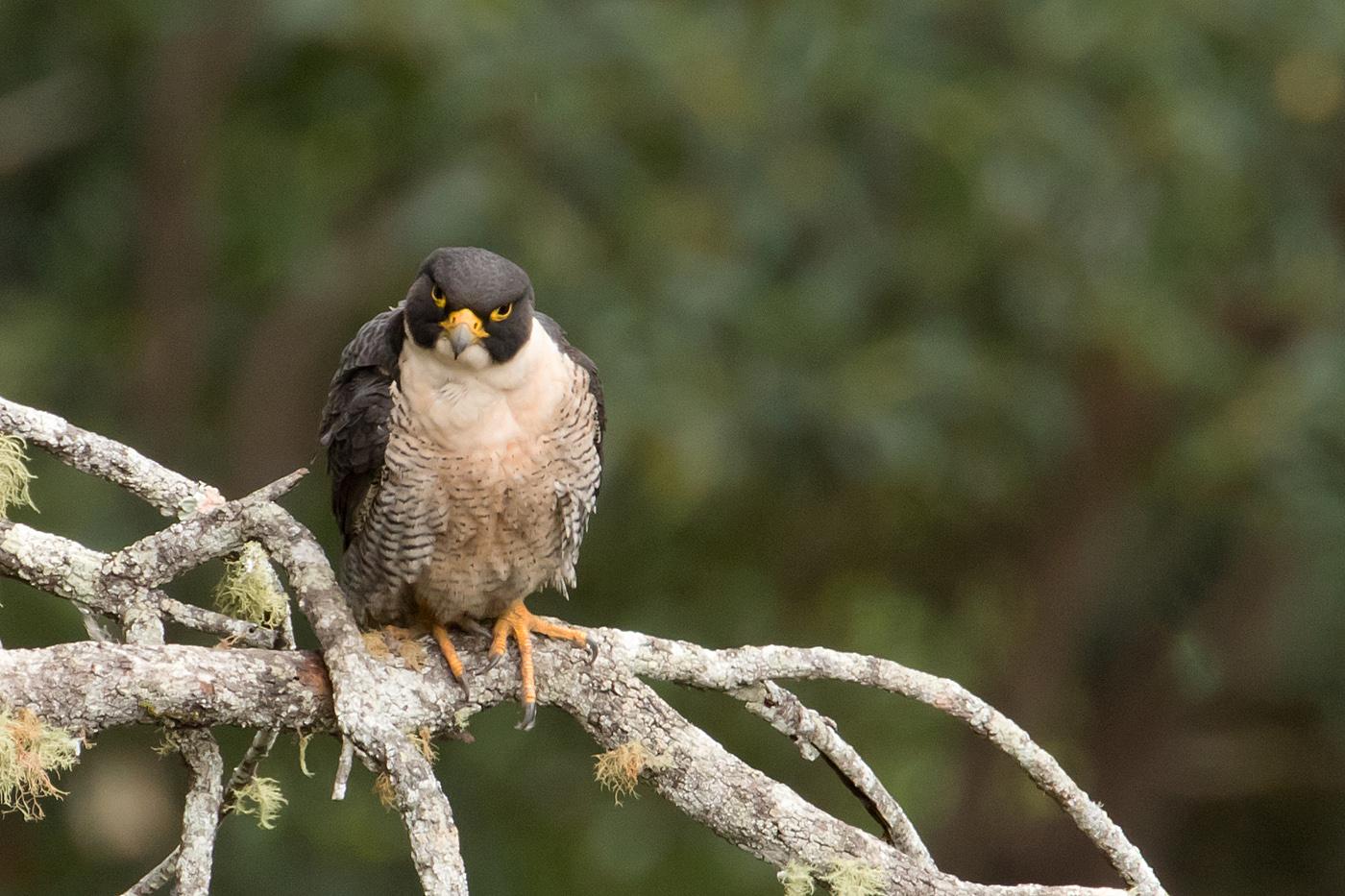Peregrine Falcon (Image ID 36718)