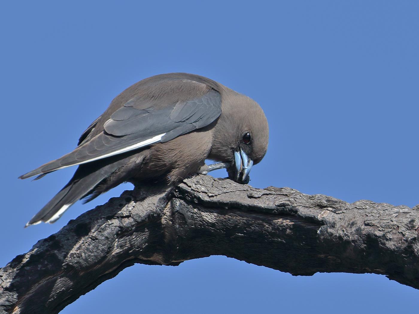 Dusky Woodswallow (Image ID 36888)