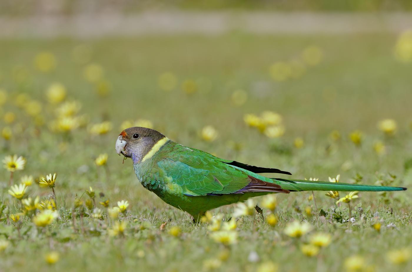 Australian Ringneck (Image ID 36740)