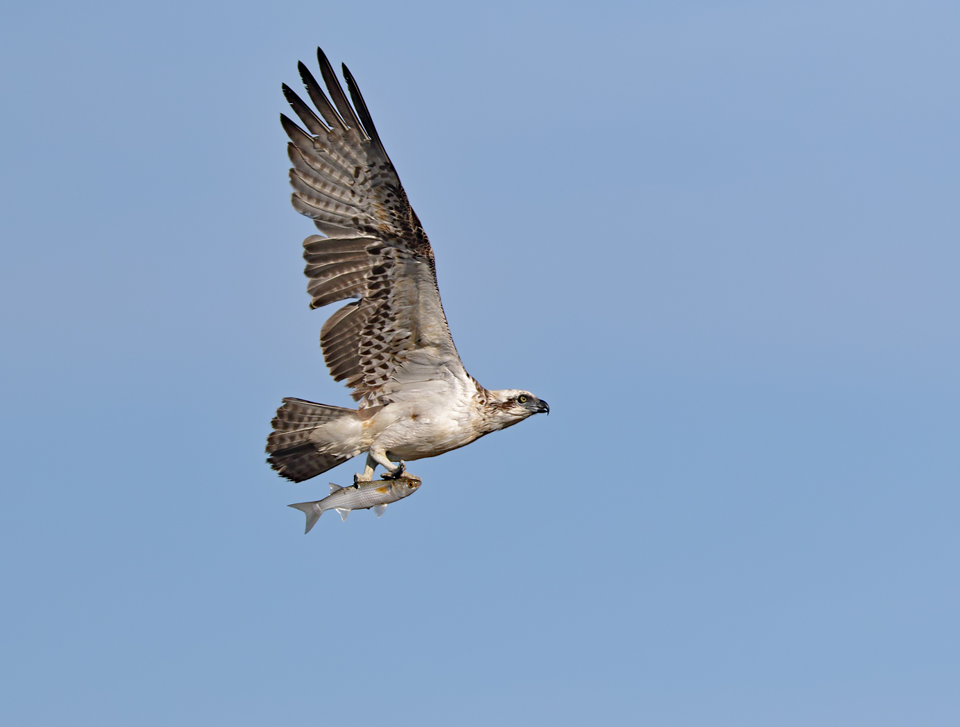 Osprey (Image ID 36692)