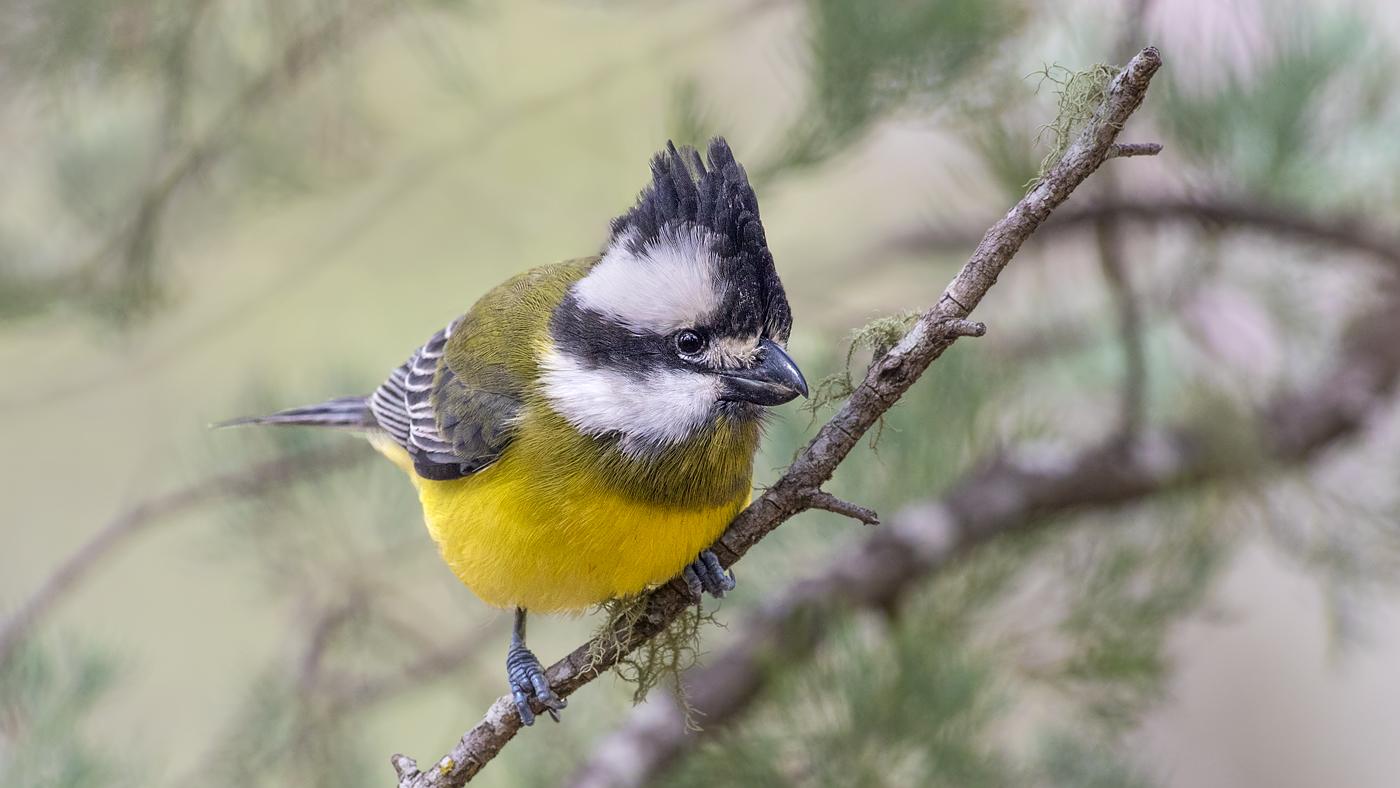 Crested Shrike-tit (Image ID 36686)
