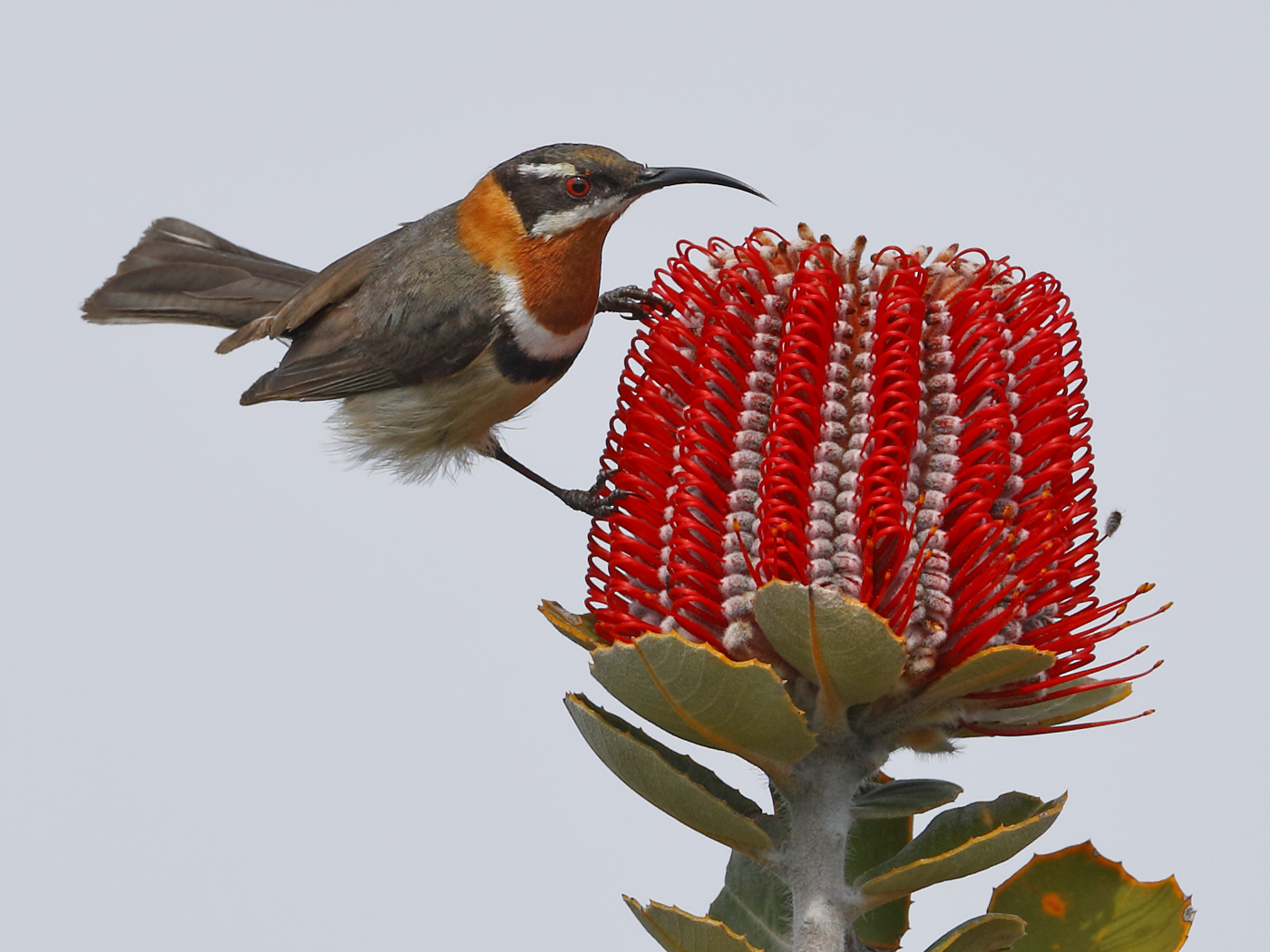Western Spinebill (Image ID 36713)