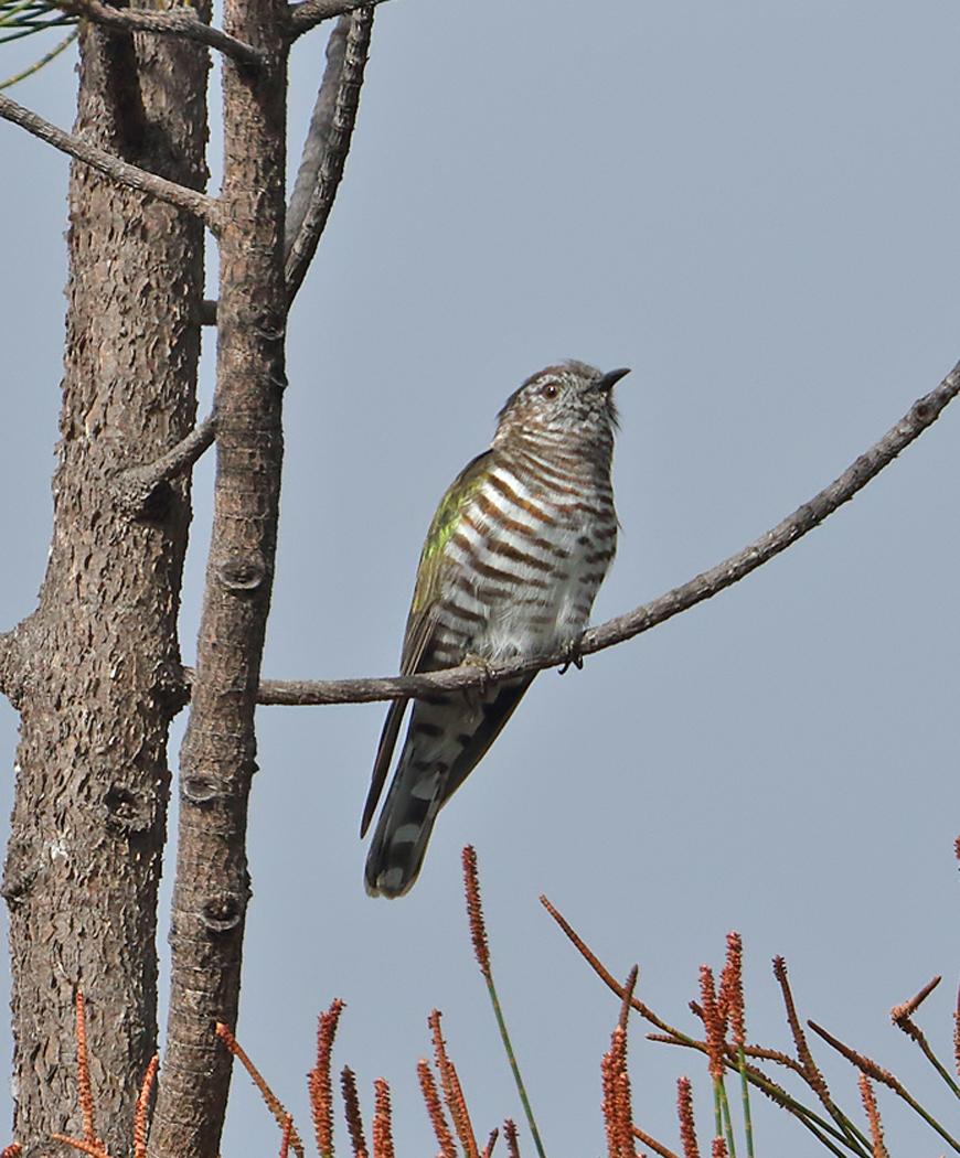 Shining Bronze-Cuckoo (Image ID 36784)