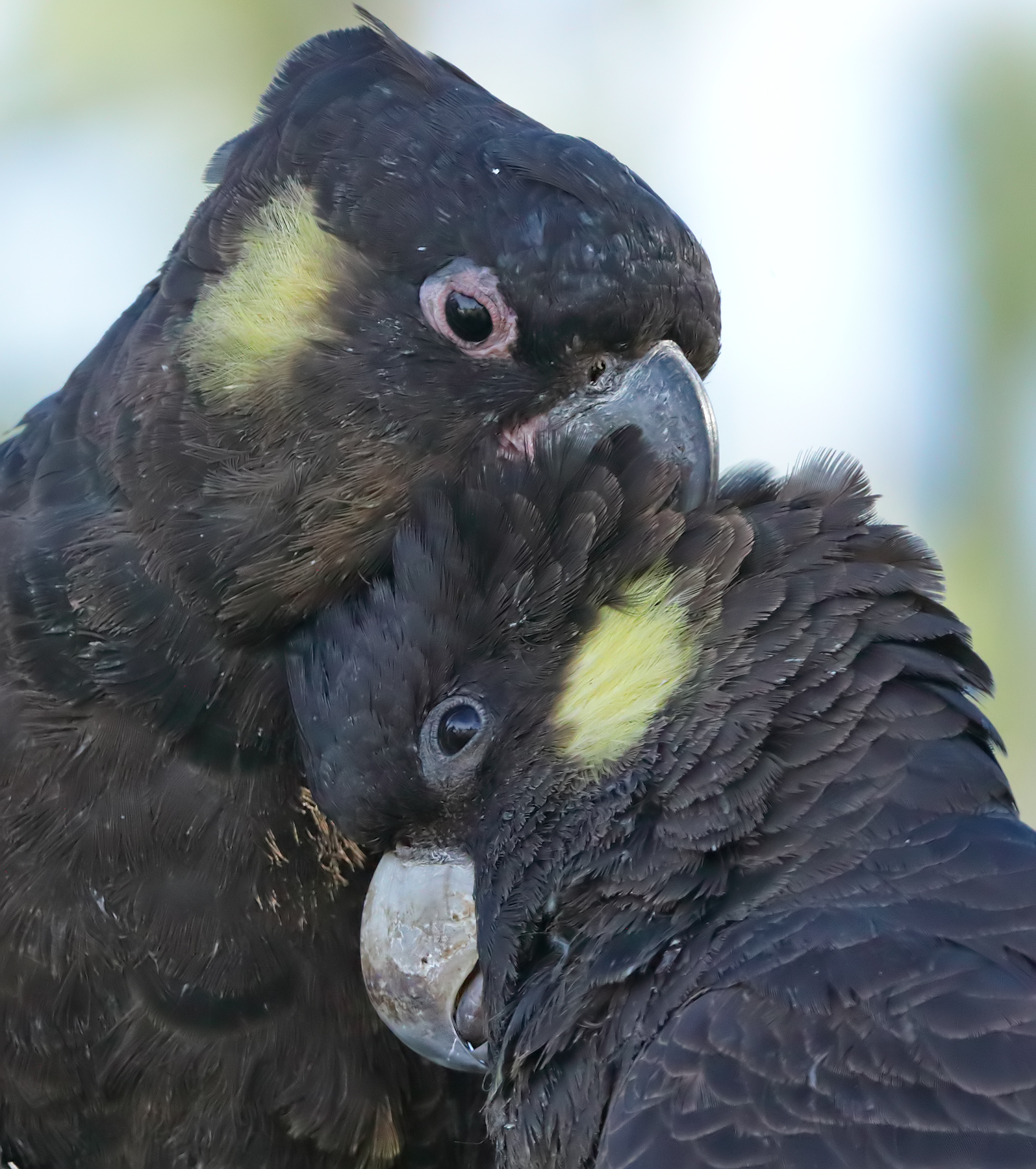 Yellow-tailed Black-Cockatoo (Image ID 36818)