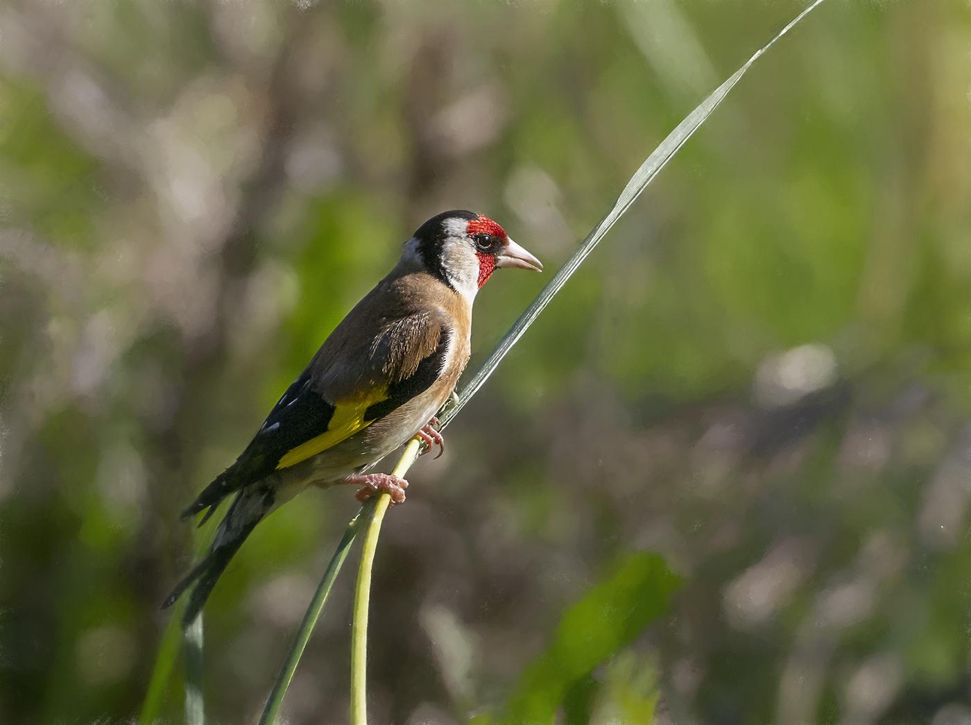 European Goldfinch (Image ID 36934)