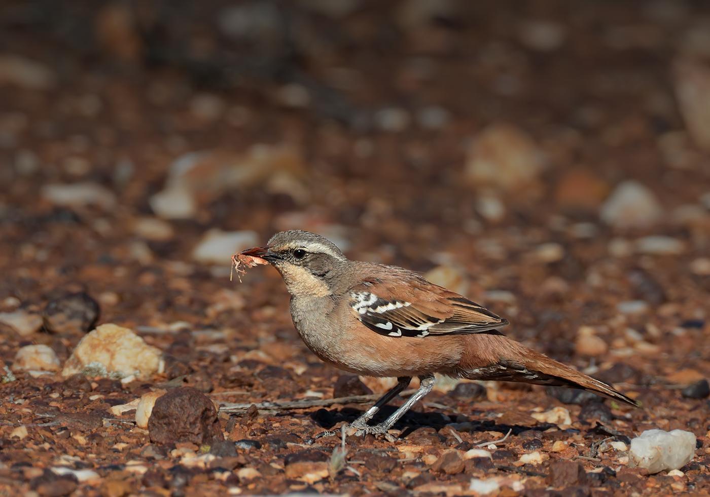 Chestnut-breasted Quail-thrush (Image ID 36832)